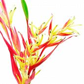 picture of heliconia  - Tropical red Heliconia flower - JPG