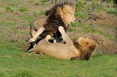 Постер, плакат: Two Kalahari Lions Playing In The Addo Elephant National Park