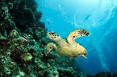 picture of endangered species  - hawksbill sea turtle - JPG
