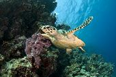 foto of species  - hawksbill sea turtle - JPG