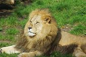 stock photo of glorious  - Male lion in the grass looking glorious - JPG