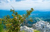 stock photo of climbing roses  - The wild rose bush grows on the top of the Lovcen mountain Montenegro - JPG