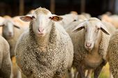 pic of cattle breeding  - Portrait of cute sheep in herd looking at camera - JPG