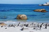 "stock photo of jackass  - African penguins (once known as ""jackass penguins"") colony on Boulders Beach Nature Reserve near Cape Town, Western Cape, South Africa.