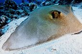 image of sting  - big feather tail sting ray resting on the sand  - JPG