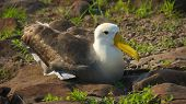 picture of albatross  - Albatross are large seabirds - JPG