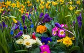 stock photo of primrose  - Shallow focus on several colorful garden flowers - JPG