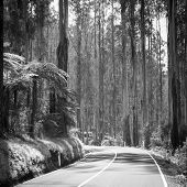 stock photo of spurs  - Towering trees and tree ferns in the forest along the Black Spur in the Yarra Valley Victoria Australia in black and white - JPG