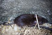 image of rats  - Big brown rat in big earthen jar Rattus norvegicus - JPG