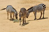 stock photo of biblical  - Zebra in Jerusalem Biblical Zoo Jerusalem Israel - JPG