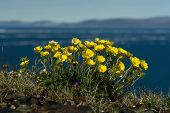 image of chukotka  - Flowers Potentilla tormentilla in the tundra of Chukotka - JPG