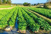 image of potato-field  - Potato field on blue sky landscape in Thailand - JPG