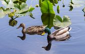 pic of duck pond  - A pair of Mallard Ducks going about their daily routine in the nearby pond - JPG