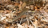 pic of harmless snakes  - Large Sonoran gopher snake traveling the valley well camouflaged with the ground leaves surrounding it - JPG