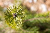 picture of pine-needle  - Background with the detailed view of the needles of young pine - JPG