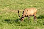 pic of deer rack  - Roosevelt Elk Cervus elaphus roosevelti in a grassy meadow feeding - JPG
