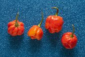 image of scorpion  - Trinidad Moruga Scorpion Spicy chili in the world on a blue background