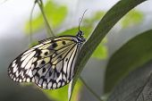 pic of nymph  - Idea Leuconae butterfly  - JPG