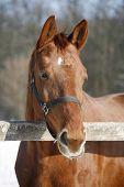 pic of bay horse  - Close - JPG