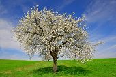 stock photo of cherry trees  - Blooming cherry tree on meadow in spring landscape - JPG