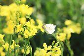 pic of rape  - Rape flowers and butterfly - JPG
