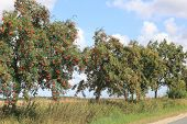 image of rowan berry  - The European rowan lat - JPG