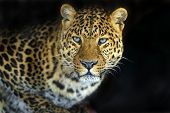 stock photo of leopard  - Leopard in the wild on the island of Sri Lanka - JPG