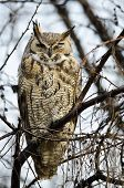 image of owl eyes  - Great Horned Owl with an Injured Eye - JPG
