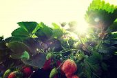 foto of strawberry plant  - strawberry crops  in growth at sunrise garden - JPG