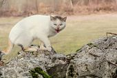 picture of mew  - White domestic cat is standing on the rocks in the woods scared and mewing - JPG