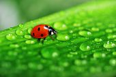 stock photo of leaf insect  - close up view on lady bug sitting on leaf - JPG