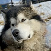 pic of eskimos  - This fluffy dog is Alascan  - JPG