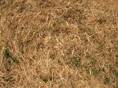 image of dry grass  - Dry grass in a meadow with a few blades of grass green - JPG