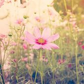 stock photo of cosmos flowers  - Cosmos flower and sunlight with vintage effect - JPG