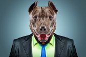 foto of pit-bull  - Portrait of a pit bull in a business suit - JPG
