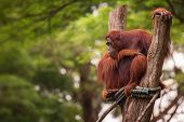 picture of orangutan  - Orangutan in the Singapore Zoo at the tree - JPG
