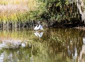 stock photo of marshes  - A white snowy egret wading and feeding in a wetland marsh - JPG