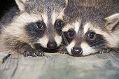 image of raccoon  - Two cute baby raccoons on a wooden deck at night - JPG