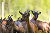 image of pastures  - Herd of goats on pasture - JPG
