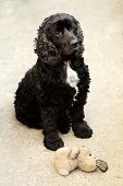 foto of toy dogs  - Cute pure bred black and white english cocker spaniel dog devotedly looking and sitting outdoor near soft toy of puppy vertical picture - JPG