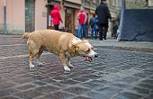 stock photo of homeless  - Hungry homeless dog eats a part of chicken meat - JPG