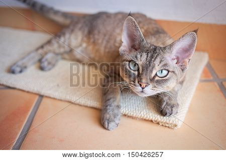poster of Beautiful Devon Rex cat is laying down on a scratching board. Devon Rex cat likes Cat Scratch Mat. Cat scratching Board provides your cat a place to play and stretch. Keeping cats claws in top shape