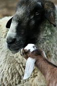 foto of suffolk sheep  - Nubian goat kid looking for daddy confused - JPG