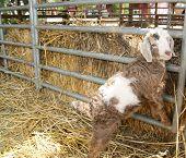 Cute Baby Lamb poster