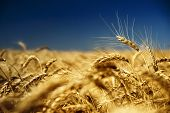stock photo of riding-crop  - gold wheat and blue sky - JPG