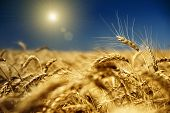 stock photo of riding-crop  - gold wheat and blue sky with sun - JPG
