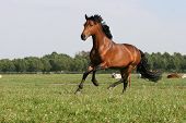stock photo of wild horse running  - running chestnut horse - JPG