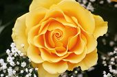 picture of yellow rose  - One yellow rose and small white flowers   - JPG