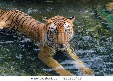 Royal Bengal Tiger Sitting In