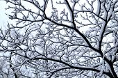 picture of snow forest  - Branch of a winter tree covered with snow - JPG